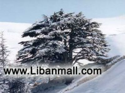 Photos of Lebanon Cedar trees, the symbol of Lebanon